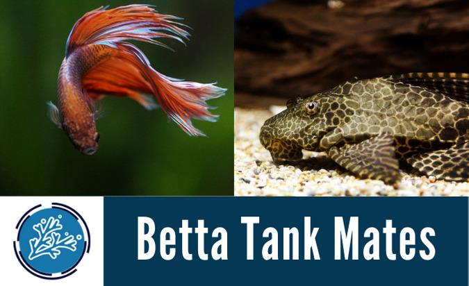 Betta Tank Mates