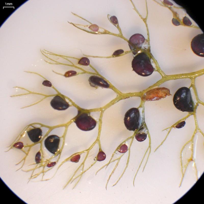 Common Bladderwort Utricularia vulgaris