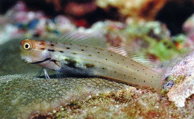Dotted coralblenny