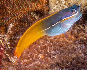 Ecsenius tricolor