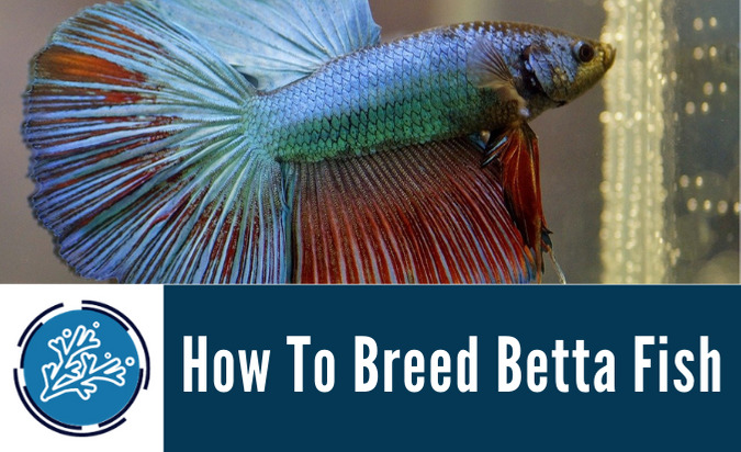 How To Breed Betta Fish