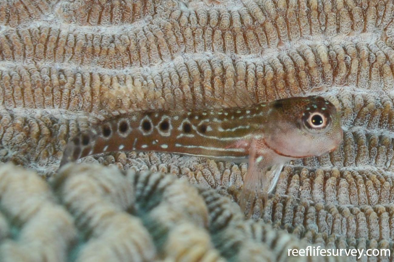 Ocular Coralblenny