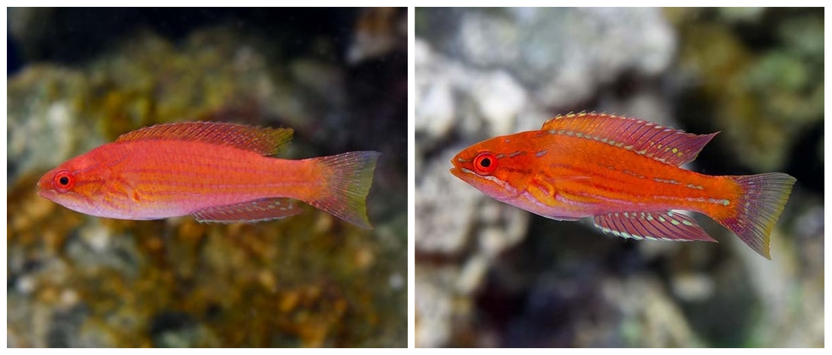 Royal Flasher Wrasse Initial Terminal Phases