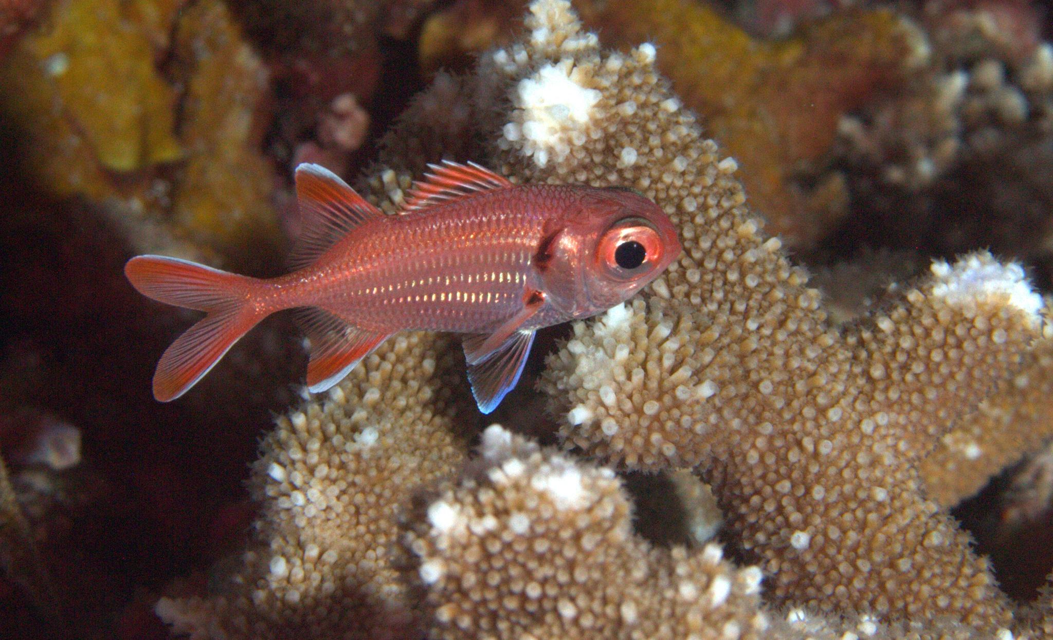 Scarlet Soldierfish Eye