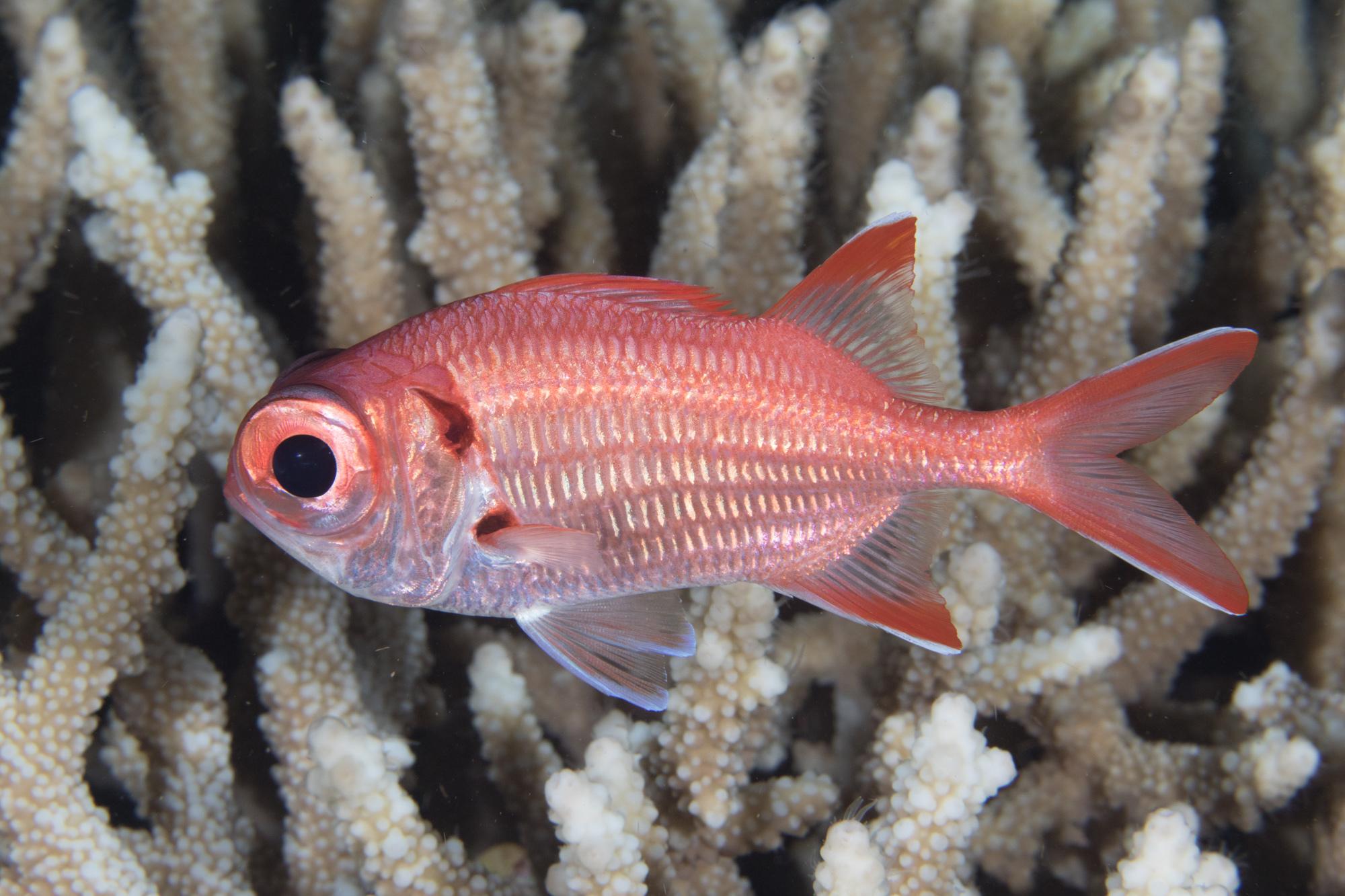 Scarlet Soldierfish