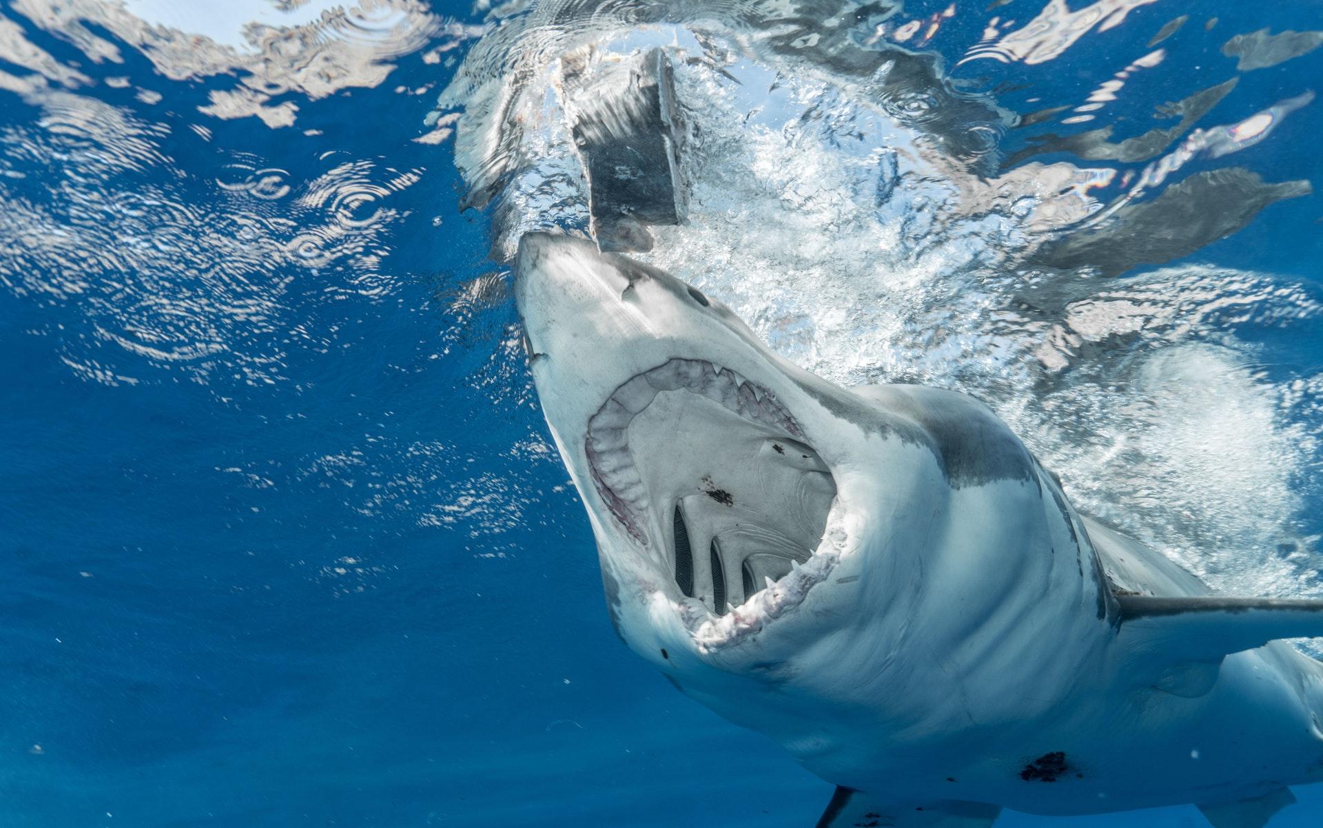 What do sharks eat