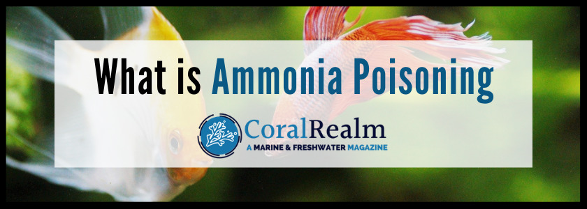 What is Ammonia Poisoning