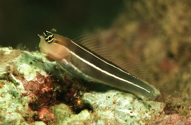White-lined coralblenny