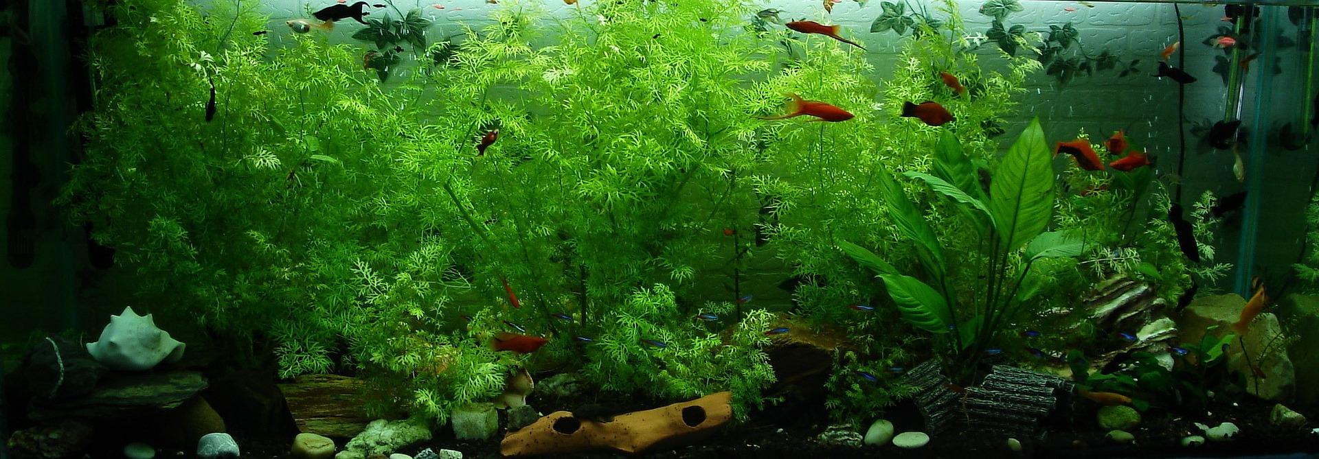 ammonia poisoning fish