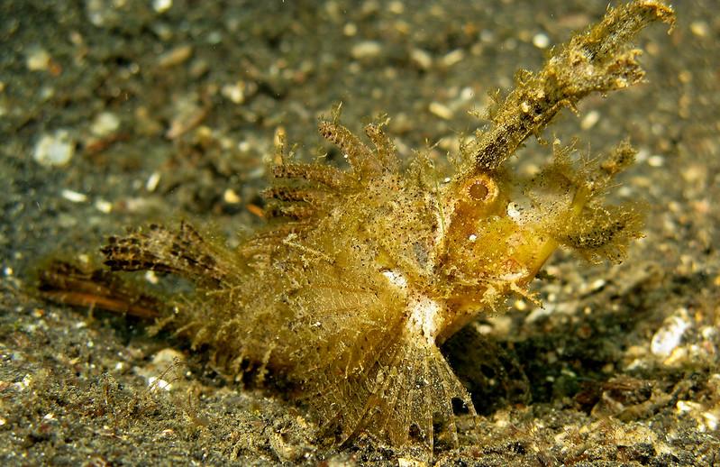Ambon Scorpionfish Description
