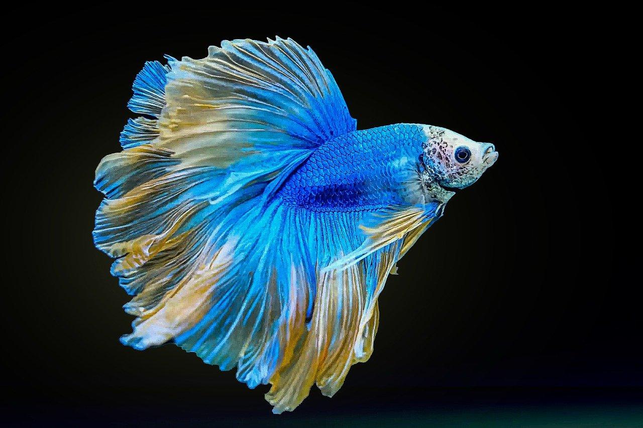Betta Fish Care Appearance
