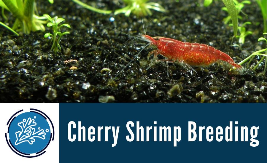 Cherry Shrimp Breeding