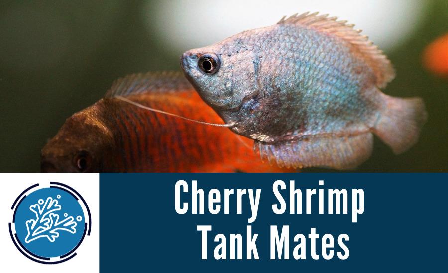 Cherry Shrimp Tank Mates