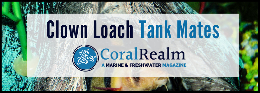 Clown Loach Tank Mates