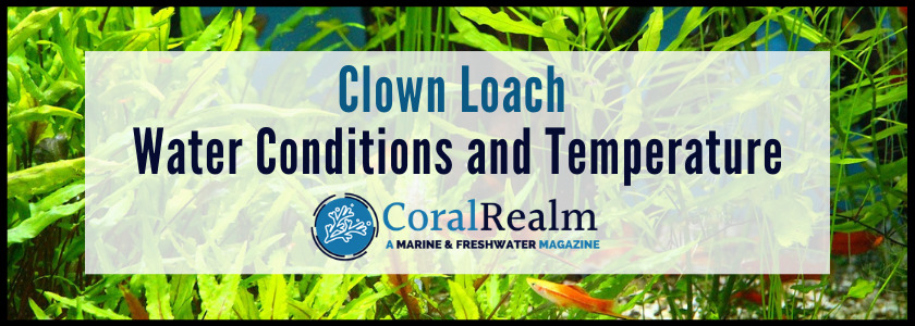 Clown Loach Water Conditions and Temperature
