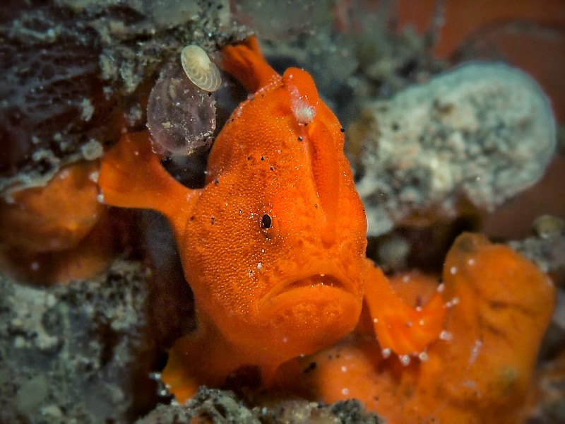 Frogfish appearance