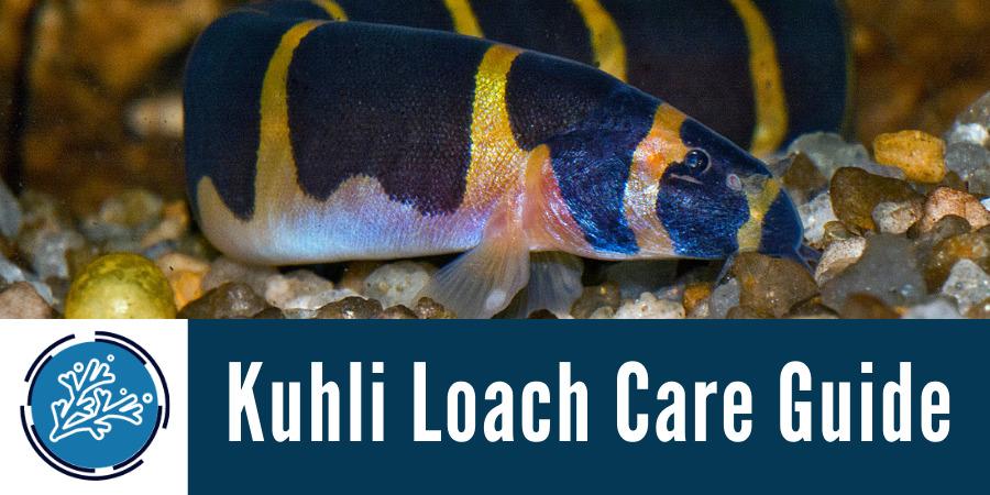 Kuhli Loach Care Guide