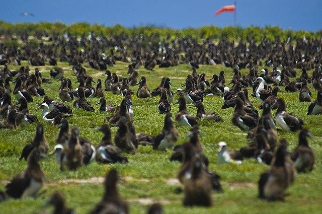 Laysan Albatross Midway Atoll