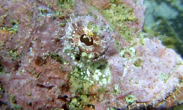 Leaf scorpionfish behavior