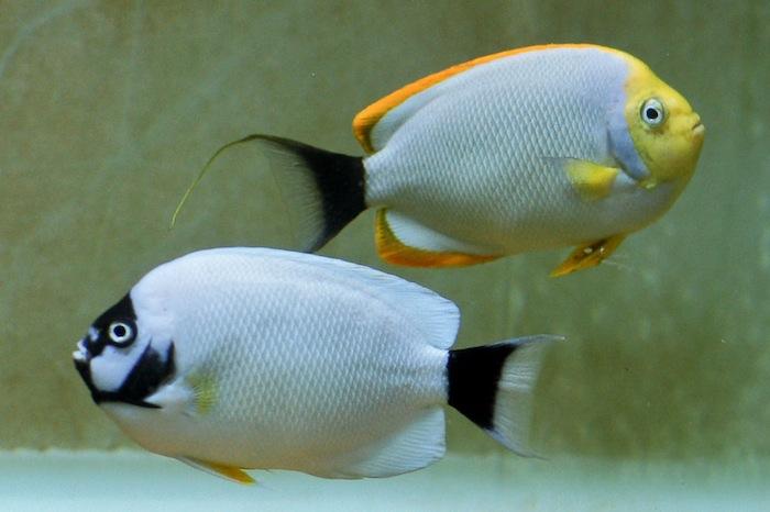 Masked Angelfish Pair