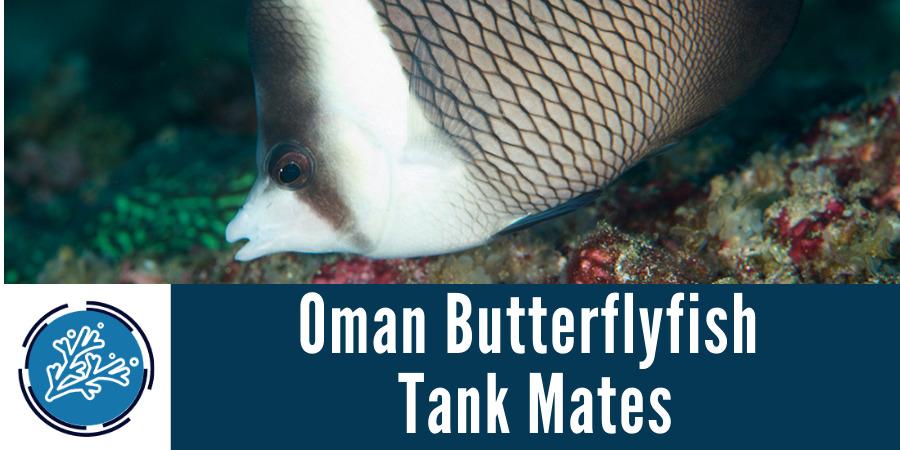 Oman Butterflyfish Tank Mates