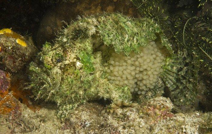 Three Spot Frogfish Eggs