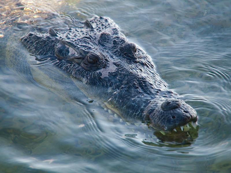 banco chinchorro crocodile