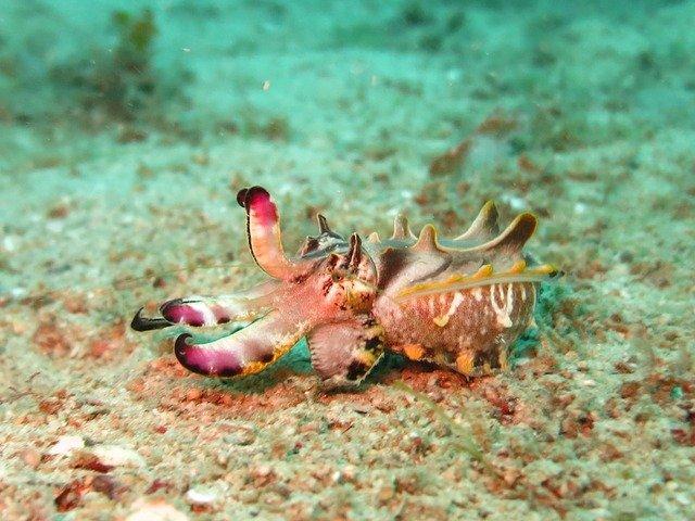 cuttlefish mollusk