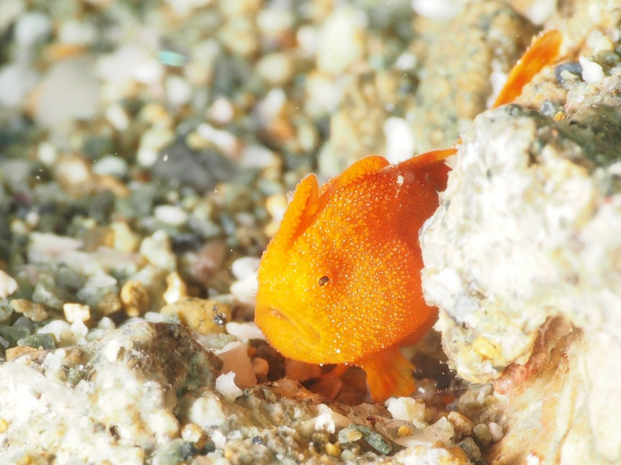 frogfish reproduction