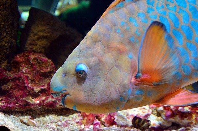 parrotfish feeding behavior