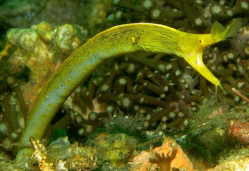 Yellow Ribbon Eel