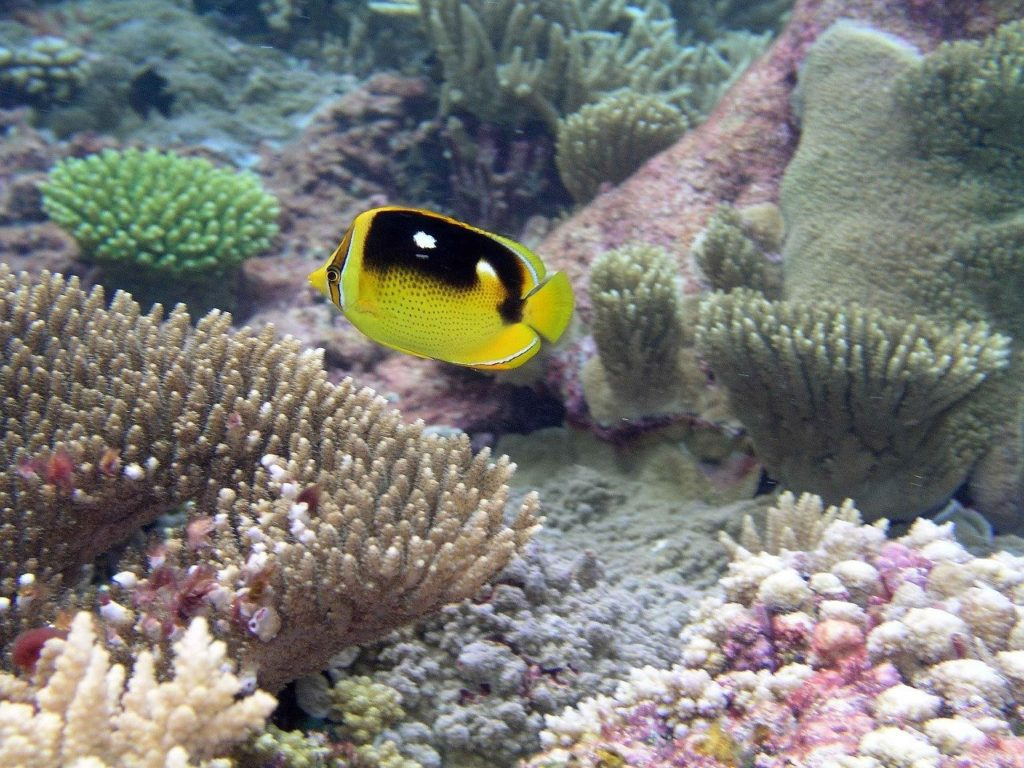 Butterfly fish natural habitat